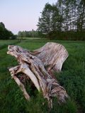 Weathered tree stump on a field. At dusk royalty free stock photo