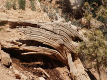 Weathered. A weathered tree trunk within Bryce Canyon, Utah Royalty Free Stock Photography