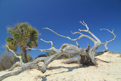 Weathered Tree Trunk on Sand Dune. Palm, Weathered Tree Trunk and Sand Dune - Cumberland Island, Georgia royalty free stock photo