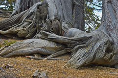 Weathered trees. Dead tree trunks and roots showing extreme weathering Royalty Free Stock Photos