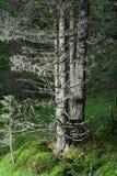 Weathered trees Stock Image