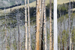 Weathered Trees in Yellowstone National Park Royalty Free Stock Images