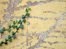 Weathered wall with ivy Stock Photos