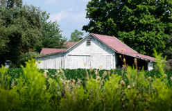 Weathered white  barn in a Michigan orchard Royalty Free Stock Photos