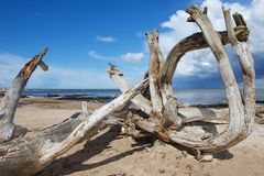 Weathered wood at the sandy beach of the Baltic sea in Koka, Latvia. Stock Image