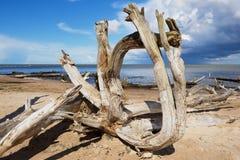 Weathered wood at the sandy beach of the Baltic sea in Koka, Latvia. Royalty Free Stock Image