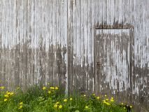 Weathered wooden building facade with a door and dandelion flowers. Wooden rural building facade with old cracked paint, a door and dandelion flowers in the stock photos