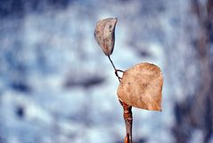 Weathered yellow poplar leaf, blurry winter landscape background. Weathered yellow poplar leaf on twig, blurry winter landscape background royalty free stock photography