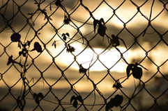 The weave of branches with leaves on wire fencing.  Stock Photo