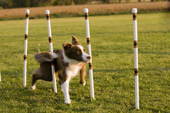 Weave poles. Red and white Border Collie in weave poles Stock Photo