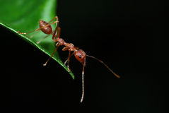 A weaver ant Royalty Free Stock Images