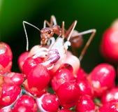 Weaver Ant Stock Photos