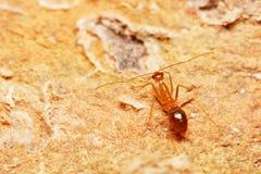 Weaver Ant Royalty Free Stock Photo