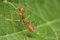 Weaver Ant Royalty Free Stock Images