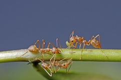 Weaver ant moving aphid Stock Photo