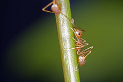 Weaver ant and aphid. A weaver ant is waiting a syrup from aphid Royalty Free Stock Image