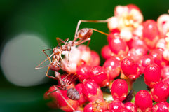 Weaver Ant Feeding Royalty Free Stock Photo