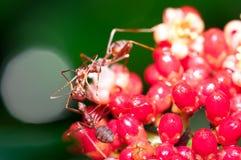 Weaver Ant Feeding Royalty Free Stock Photo