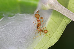 Weaver ant and hive Royalty Free Stock Image