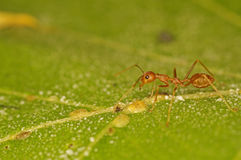 Weaver ant and scale insects Royalty Free Stock Photography