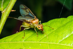 Weaver ant queen on green leaf Royalty Free Stock Photo