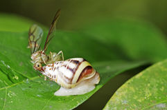 Weaver ant queen and land snail Royalty Free Stock Image