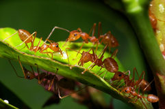 weaver ant and scale insect Stock Photography