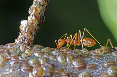 Weaver ant and scale insects. A weaver ant is taking care a group of scale insects Royalty Free Stock Photos