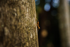 Weaver Ant side view on tree Stock Image