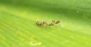 Weaver Ant steht in Verbindung Lizenzfreies Stockfoto