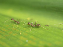 Weaver Ant steht in Verbindung Lizenzfreie Stockbilder