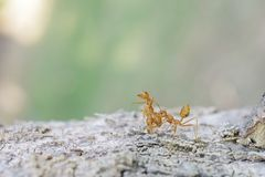 Weaver ant on wood Royalty Free Stock Image
