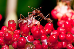 Weaver Ants Stock Photo