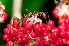 Weaver Ants Stock Photos