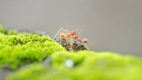 Weaver Ants Royalty Free Stock Photo