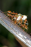 Weaver ants. Are moving the larva Stock Photos
