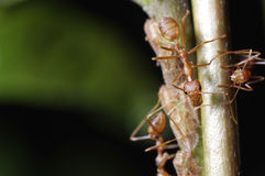 Weaver ants. Taking care of aphids Stock Photo