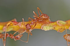 Weaver ants and aphid. S on the tree branch Stock Images