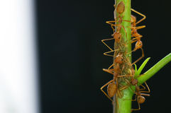 Weaver ants and aphids Stock Photography