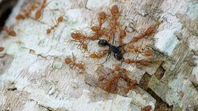 Weaver ants attack black ant stock footage