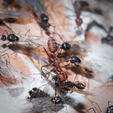 Weaver Ants and Carpenter Ants at war. Colonies fights between Weaver and Carpenter Ants. Ants are eusocial insects of the family Formicidae and, along with the Stock Images