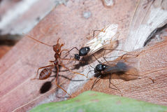 Weaver Ants and Carpenter Ants at war Stock Photo