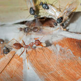 Weaver Ants and Carpenter Ants at war. Colonies fights between Weaver and Carpenter Ants. Ants are eusocial insects of the family Formicidae and, along with the Royalty Free Stock Photos