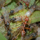 Weaver Ants and Carpenter Ants at war. Colonies fights between Weaver and Carpenter Ants. Ants are eusocial insects of the family Formicidae and, along with the Royalty Free Stock Photo