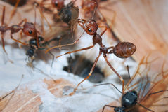 Weaver Ants and Carpenter Ants at war. Colonies fights between Weaver and Carpenter Ants. Ants are eusocial insects of the family Formicidae and, along with the Royalty Free Stock Images