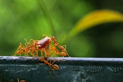 Weaver ants carry food Royalty Free Stock Photos