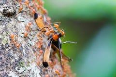 Weaver Ants Carrying Food al loro nido Fotografie Stock
