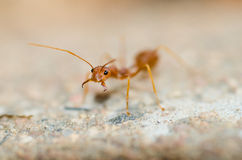 Weaver Ant royalty free stock photo