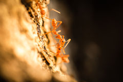 Weaver ants communicating on tree Royalty Free Stock Images