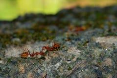 Weaver Ants Stock Image